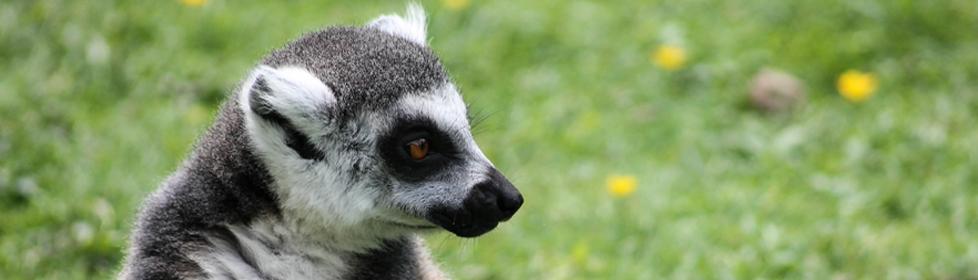 lemuriens-banners